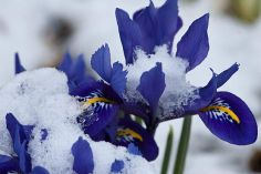 what-to-grow-in-winter_winter-flowering-iris_10